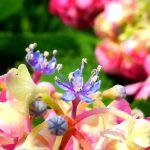 紫陽花とバラのあいだ。
