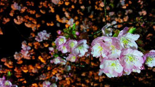 おかっぱミユキ桜6