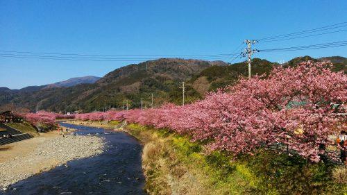 おかっぱミユキ桜4