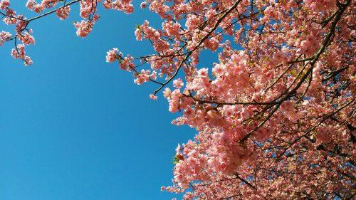 おかっぱミユキ桜3
