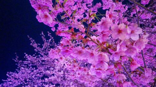 おかっぱミユキ桜2