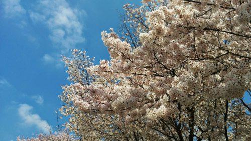 おかっぱミユキ桜1
