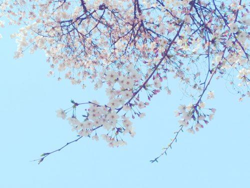 おかっぱミユキ桜12