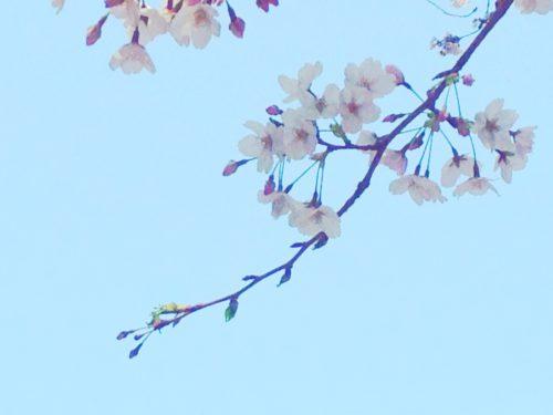 おかっぱミユキ桜11