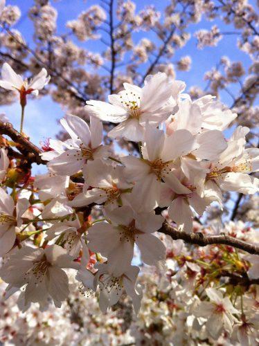 おかっぱミユキ桜7