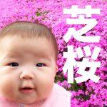 【満開】ヘリでも見れるオホーツクの芝桜!